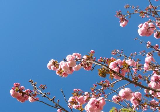 Cherry Blossom Sky blue