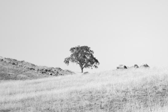 Lone Tree B&W